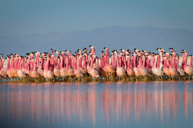 The pinkest flamingos are also the most aggressive, study finds