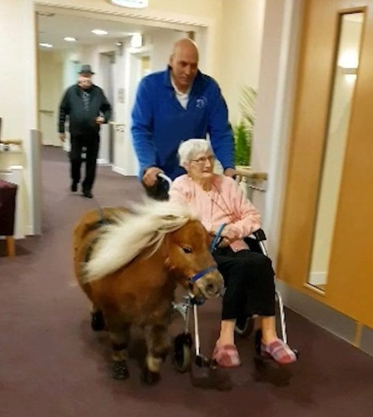 Pony taking woman in wheelchair for a walk