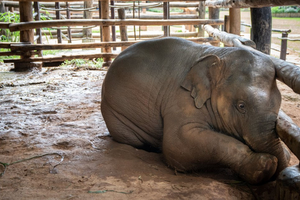 Baby Elephant Nursery From Hell: Babies Bred to be ?Crushed? and Forced to Perform