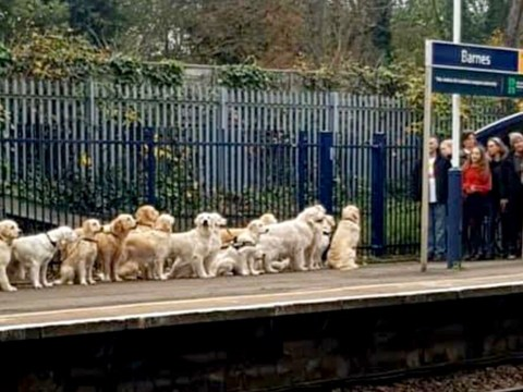 Just why were all these Golden Retrievers queuing up for a train?