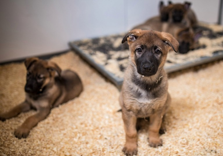 MERCURY PRESS. Manchester, UK. (Pictured: Greater Manchester Police have welcomed these nine German Shepherd puppies to its ranks, pictured here in their current home at the K9 training centre in Manchester.) A police dog unit has welcomed its nine newest and cutest members - a litter of paws-itively perfect German shepherd pups. Greater Manchester Police's Tactical Dog Unit saw the patter of puppy feet on Friday September 13, when a litter of four male and five females were born. Since parents Sally, the unit's brood bitch, and Mati, a working police dog, had the huge litter all but three of the pooches will train to become official police dogs. (SEE MERCURY COPY)