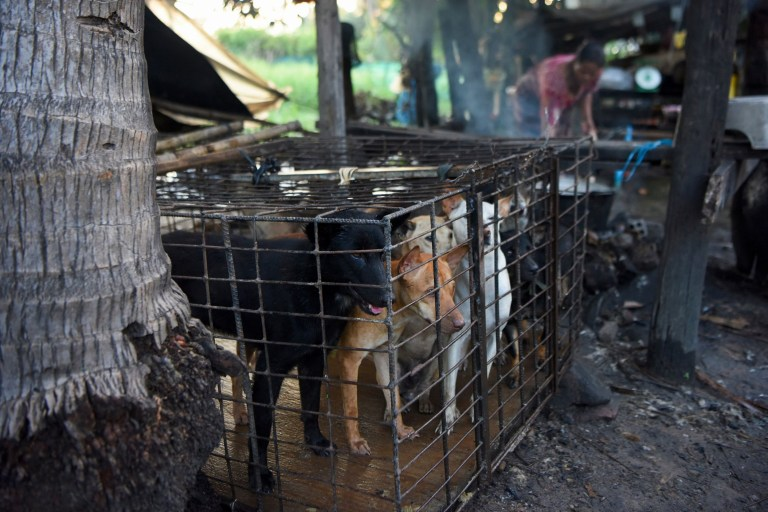This photo taken on October 25, 2019 shows dogs in a cage as a woman boils water at a slaughterhouse in Siem Reap province. - Cambodian dog meat traders drown, strangle and stab thousands of canines a day in a shadowy but sprawling business that traumatises workers and exposes them to deadly health risks like rabies. (Photo by TANG CHHIN Sothy / AFP) / TO GO WITH Cambodia-animal-dog-food, FEATURE by Joe FREEMAN and Suy SE (Photo by TANG CHHIN SOTHY/AFP via Getty Images)