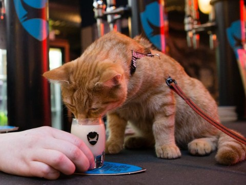 Eli the cat can't keep away from his favourite pub