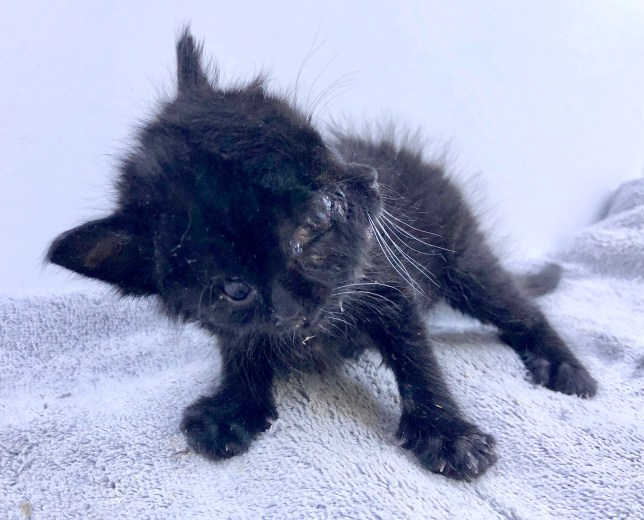 PIC BY CATERS NEWS (PICTURED Duo the kitten who has born with two faces due to an over abundance Sonic Hedgehog protein) A kitten who was born with two faces has defied the odds thanks to the dedicated care of her veterinarian owner after being rejected by her mother. Duo, the domestic medium hair cat, was born with janus - a condition which causes the kitten to be born with two faces due to an over abundance of a protein called Sonic Hedgehog Protein.Just hours after the kitten, who has two noses, two mouths and four eyes, was born, vet Ralph Tran, 41, was called from a local rescue to help look after the unique feline. Since being taken in by Ralph, Duo has become stronger by the day and has now reached four-months-old - despite the vet initially worrying that she would not live past a few days old. SEE CATERS COPY