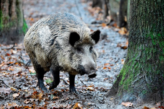 Wild boars snort £17,000 of cocaine they found hidden in forest