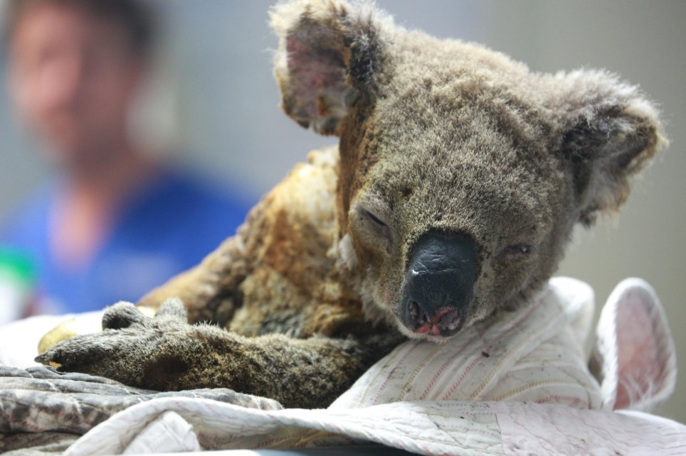 PORT MACQUARIE, AUSTRALIA - NOVEMBER 19: An injured koala receives treatment after its rescue from a bushfire at the Port Macquarie Koala Hospital on November 19, 2019 in Port Macquarie, Australia. (Photo by Tao Shelan/China News Service/VCG via Getty Images)