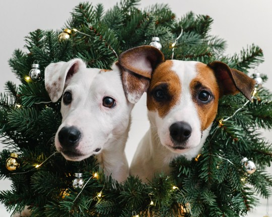 Two dogs sticking their heads through a Christmas wreath
