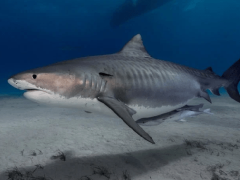 British swimmer's severed hand and wedding ring 'found inside shark's stomach'