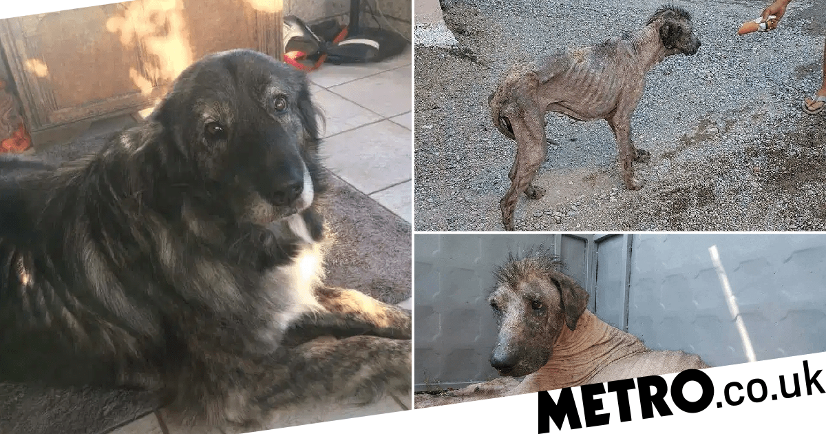 Dog beaten for looking like a 'monster' transforms into 'big friendly giant'