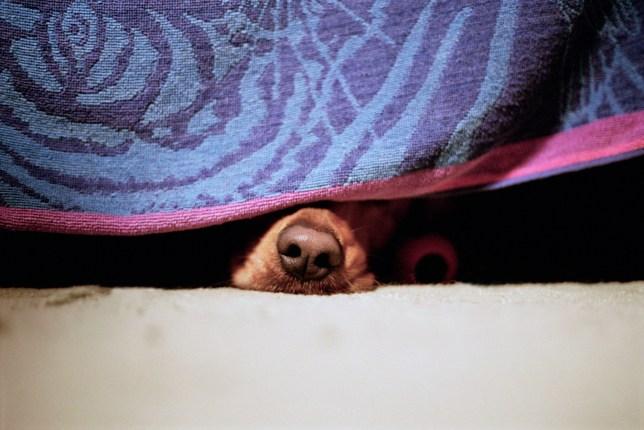 Dog hiding under a towel