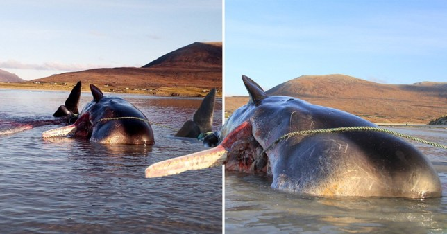 Sperm whale dies with 220lb 'litter ball' in stomach