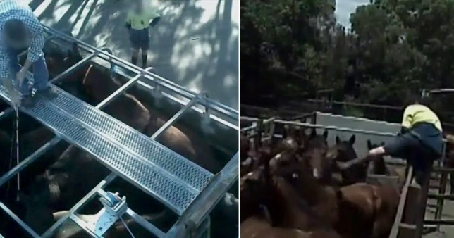 Screenshots of undercover ABC filming of retired racehorses being sent to slaughterhouse in Australia