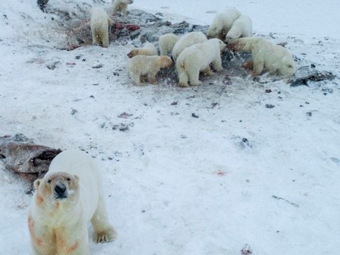 Russian village under siege from hungry polar bears searching for food
