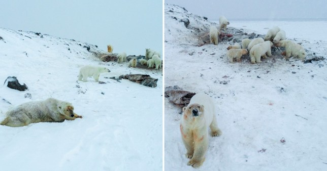 Polar bears circling the village of Ryrkaypiy in Russias easternmost region of Chuktoka