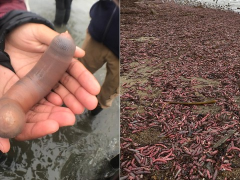 'Penis fish' exposed on beach after being washed ashore in storm