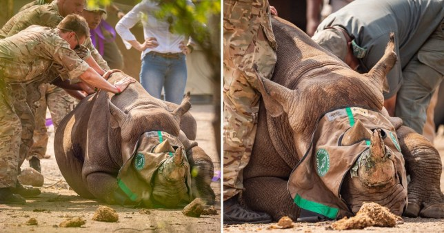 Black rhinos being moved from South Africa to Malawi by British soldiers