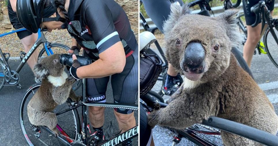 koala and australia
