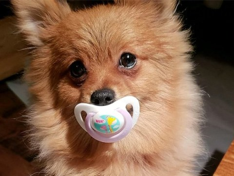 Gizmo the adorable Pomeranian calms himself down by sucking on a dummy