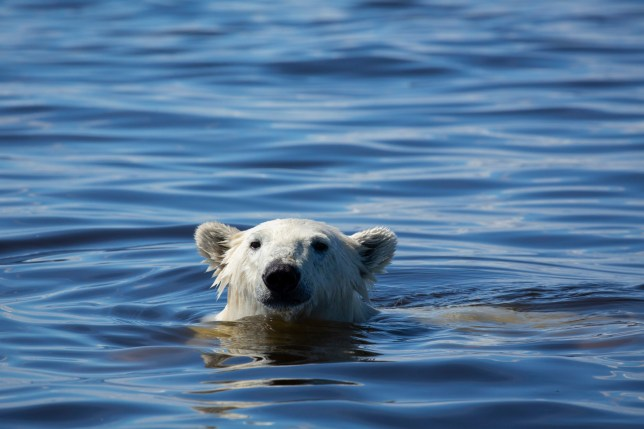 WARNING: Embargoed for publication until 00:00:01 on 26/11/2019 - Programme Name: Seven Worlds, One Planet - TX: n/a - Episode: North America (No. 6) - Picture Shows: *General Release* A young male polar bear hunts in the waters of Hudson Bay, Canada. During summer the bears lose the sea-ice on which they hunt seals and must seek alternative food to get through the lean summer months. One small population on the western shore of Hudson Bay have developed an extraordinary method of catching beluga whales. Social Media Use Unless specified to the contrary below, it is permitted to post the image on social network sites such as Facebook provided they are reduced to 72dpi and no more than 720 x 491 pixels in size and the programme title and full copyright credit. - (C) BBC Studios/Chadden Hunter - Photographer: Chadden Hunter
