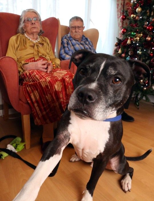 LONDON, DECEMBER 3RD 2019. THERAPY DOG Dodger, the Staffordshire Bull Terrier mix therapy dog, is pictured with residents Valerie and George Cook at the George Mason Lodge care home in Leytonstone, London, December 3rd, 2019. Dodger is a regular visitor to the home as part of the Pets as Therapy initiative scheme, which aims to use dogs to help enhance residents wellbeing by calming and soothing them and preventing them from feeling isolated. Photo credit: Susannah Ireland
