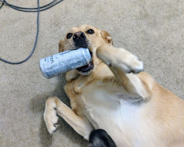 Xena the dog holding a can of monster