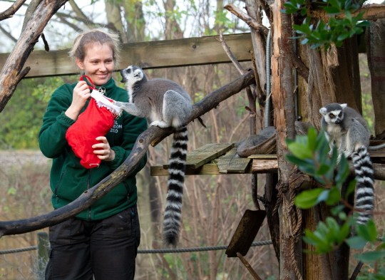 Lemurs, tigers and squirrel monkeys enjoy festive treats at ZSL London Zoo Pictured: Ring-tailed lemurs Ref: SPL5136055 161219 NON-EXCLUSIVE Picture by: SplashNews.com Splash News and Pictures Los Angeles: 310-821-2666 New York: 212-619-2666 London: +44 (0)20 7644 7656 Berlin: +49 175 3764 166 photodesk@splashnews.com World Rights,