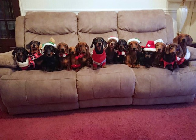 PIC BY CATERS NEWS (PICTURED A Christmassy snap of Liams sausage dogs from a previous year) A pack of seventeen sausage dogs have celebrated Christmas in style with their very own family photo. Owner Liam Beach, 20, decided to dress the dogs in their very own festive jumpers as yuletide approaches and pose up his proud possy for a quick snap. Proud pooches Buster, Daisy, Ziggy, Wallie, Zac, Bonnie, Saffie, Duke, Diamond, Ruby, Kizzy, Sammy, Kansy, Kiki, Lottie, Benji and Dudley were all on best behaviour as they stood on Liams stairs. He said: I have done Christmas pictures of the dogs previously dressed up for Xmas on the sofa and thought I need to top them so thought Id do it on the stairs this year. SEE CATERS COPY