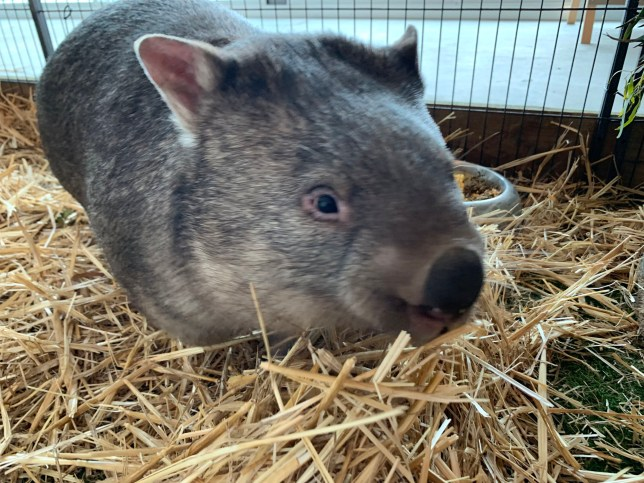 Boo the wombat