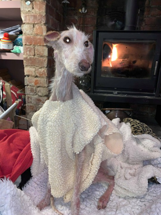 Shocking images show an abandoned female lurcher nicknamed Tiggy - who was recovered off the streets by Northumberland County Council. See SWNS story SWLEdog. These shocking images show a severely-underweight dog which was 'close to death' after it it was abandoned by its cruel owner just before Xmas. The female lurcher - who has been named Tiggy - was rescued by animal welfare officers after being dumped in a street. Now Northumberland County Council are appealing to find the owners of the abused pup. The devastating photos show the neglected pooch with barely any fur and with her ribs jutting out dramatically from her body.