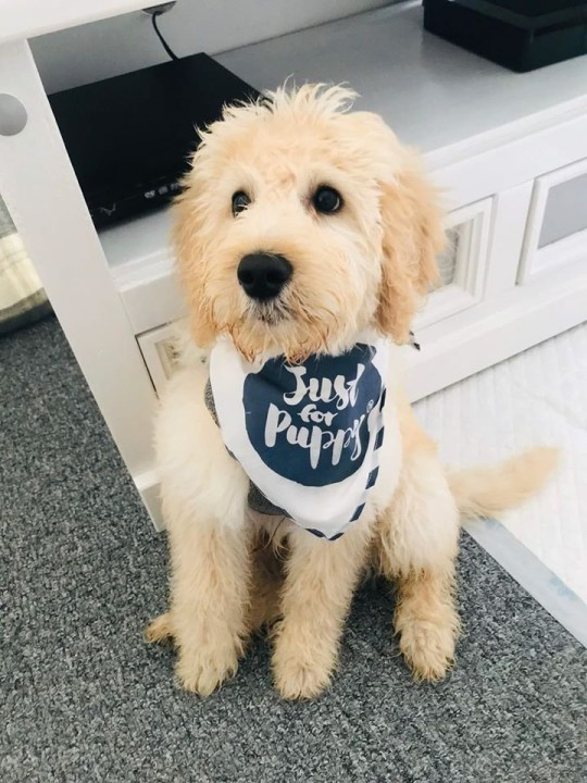 Waffle the labradoodle dog was stolen at knifepoint from its terrified owner Catthryn Hussain while out for a walk in St Austell, Cornwall at 7am on December 23