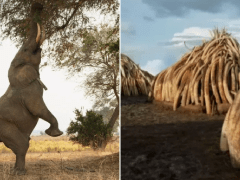 Seven Worlds One Planet breaks hearts over horrific effects of ivory trade in Africa
