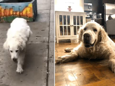 Murphy the Golden Retriever hobbles down road in final walk to vets