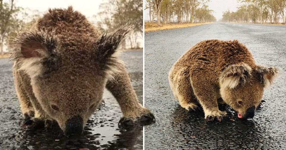 Thirsty Koala Risks Life To Lick Rainwater Off Road In Australia Metro News