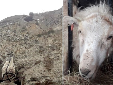 Sheep risked 'certain death' after getting trapped on 100ft cliff to escape a dog
