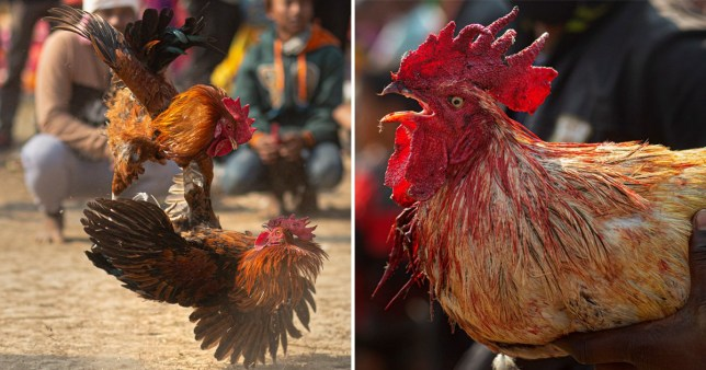 Roosters attack each other during a cockfight as part of Jonbeel festival near Jagiroad, about 75 kilometers (47 miles) east of Gauhati, India, Friday, Jan. 17, 2020.