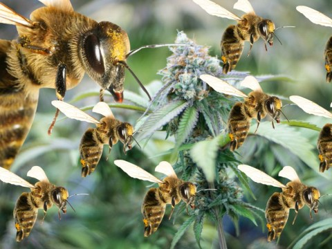 Meet the canna-bees: Scientists discover buzzing bees that love weed