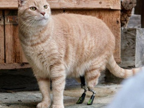 Cat who lost his hind legs in a car accident gets two new prosthetic limbs