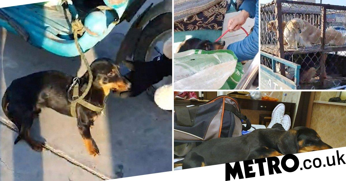 Sausage dog rescued from meat market will fly to Florida to meet family