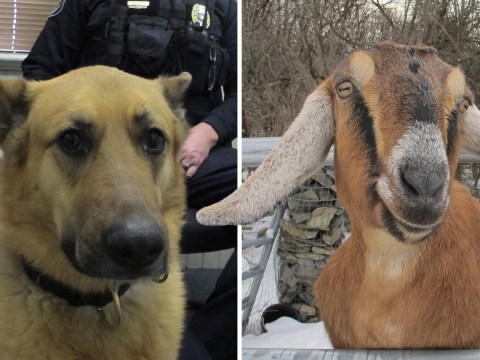 Dog and goat battle to become town mayor