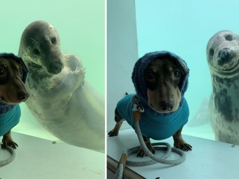 Seal and sausage dog become pals and pose for holiday photos