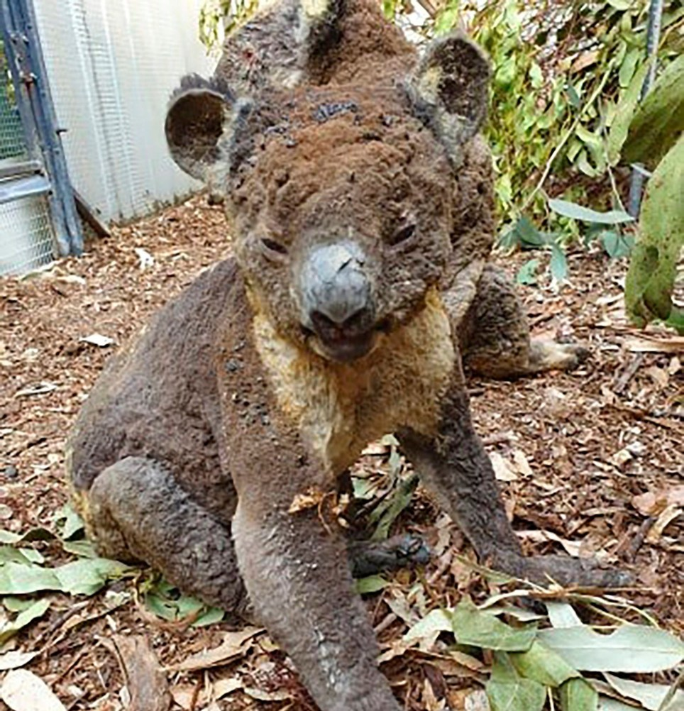 Kangaroo Island: Koalas And Kangaroos Killed In Fires On Kangaroo Island