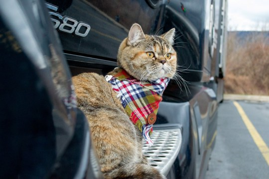 This 'trucking' cat which has travelled across 43 states in America in her owner's cab pictured on her travels