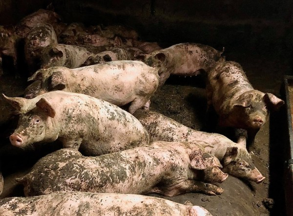 Pigs eating each other alive at 'high welfare farm' Picture: Liza Blomfagra