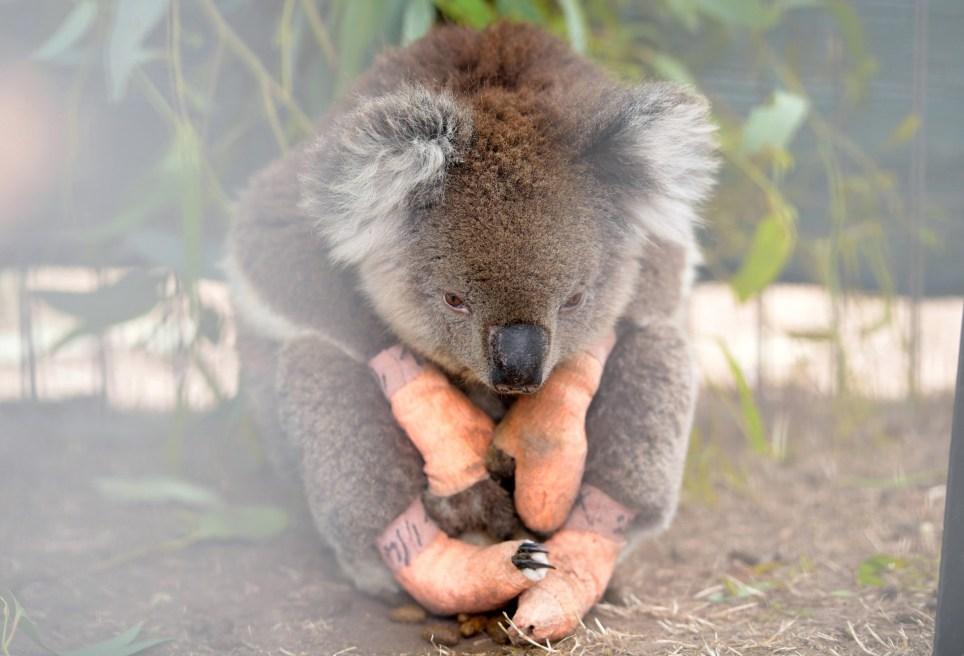 An injured koala sits at the Kangaroo Island Wildlife Park, at the Wildlife Emergency Response Centre in Parndana, Kangaroo Island, Australia January 19, 2020. REUTERS/Tracey Nearmy