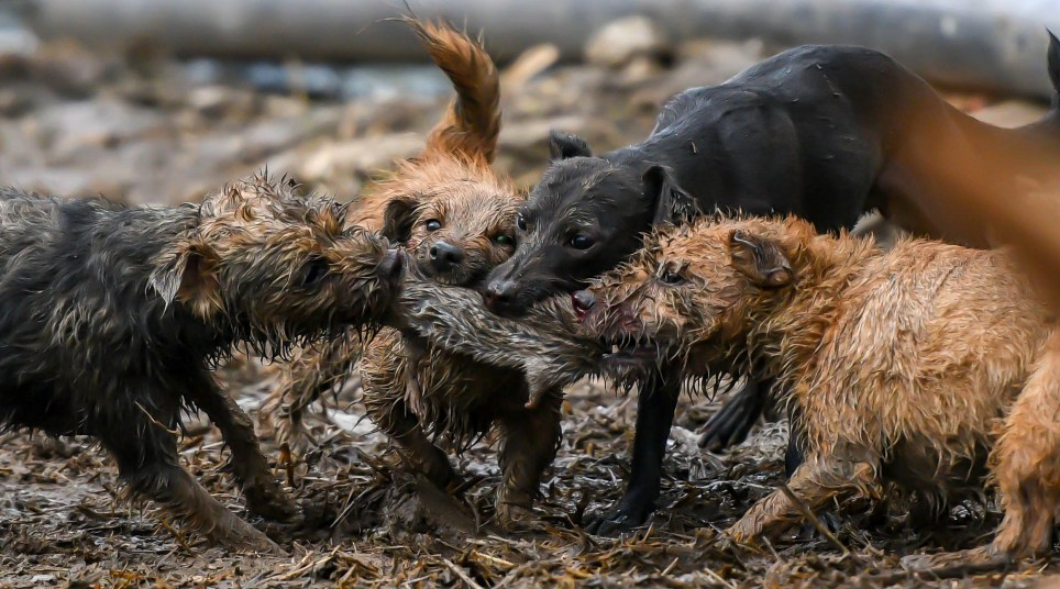 This record haul of more than 700 rats were caught and killed by a single pack of eight little dogs in a few hours. See SWNS story SWOCrats. Pig farmers called in the pack after becoming overrun with vermin which were nibbling at food stocks and posed a potential danger to the livestock. The pack of small Norfolk Terriers worked for seven hours and collected 730 massive rats - some weighing almost 1kg - shocking even their owners. It's the biggest haul of vermin ever terminated by the Suffolk and Norfolk Rat Pack who offer a free-of-charge pest control service in the South East.