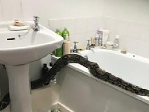 Boa constrictor found in woman's bathroom could have been there six months