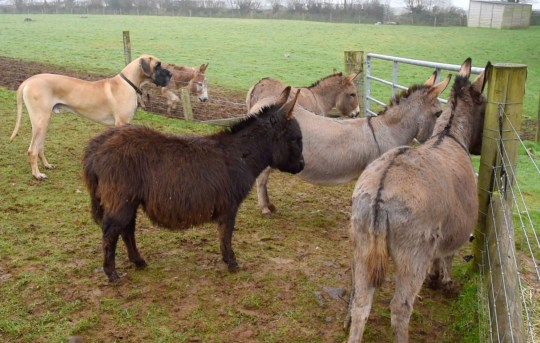Olaf the Great Dane has well and truly been accepted into this herd of donkeys