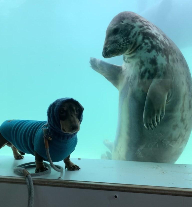 Seal aayla waves at sausage dog stanley