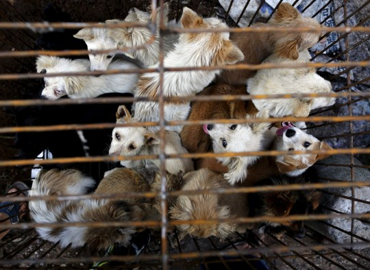 Dogs are kept in a cage at Dashichang dog market ahead of a local dog meat festival in Yulin, Guangxi Autonomous Region, June 21, 2015. In the market, some dogs are sold as pets, while others are sold for dog meat. Local residents in Yulin host small gatherings to consume dog meat and lychees in celebration of the summer solstice which marks the coming of the hottest days for the festival, which this year falls on Monday. REUTERS/Kim Kyung-Hoon - GF10000134704