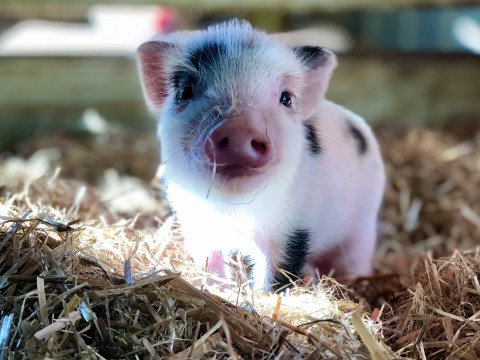 An animal sanctuary in the US is looking for volunteers to cuddle pigs and feed them cookies